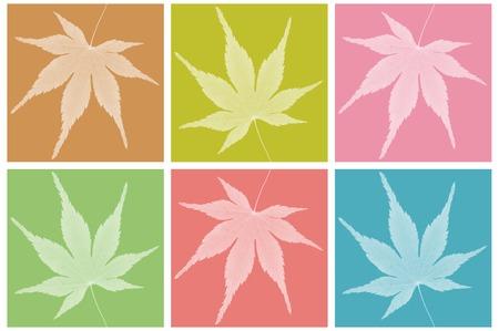 acer palmatum: Japanese maple leaf on colorful background