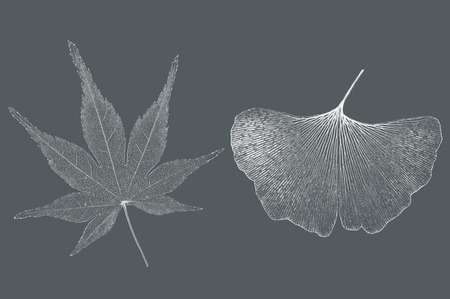 serrate: Japanese maple and ginkgo leaf on gray background