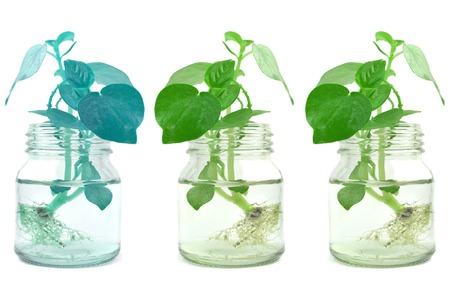 Pepper elder in glass bottle, on white background