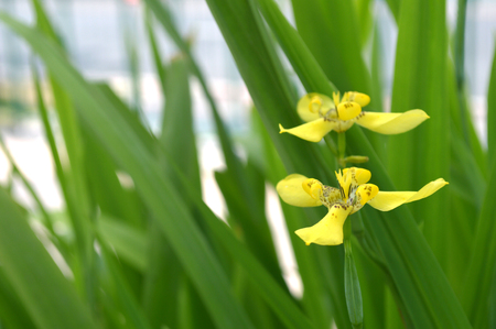 Yellow Walking Iris, Neomarica longifolia, Central of Thailand Stock Photo