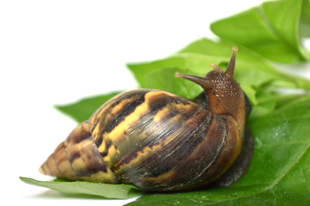 Land snail (Helix sp.) from central of Thailand