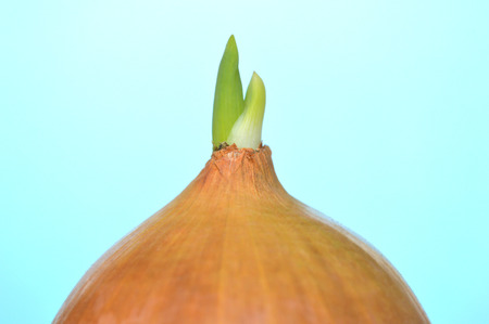 Germinating onion on blue background