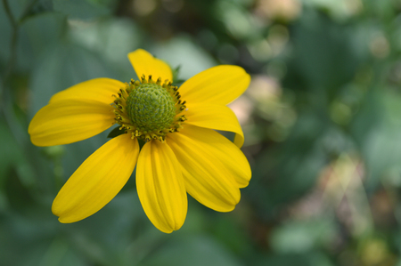 Yellow coneflower (Rudbeckia sp.) from central of Thailand 版權商用圖片