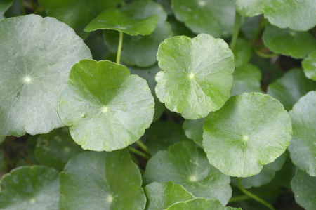 Water pennywort (Hydrocotyle sp.) from central of Thailand
