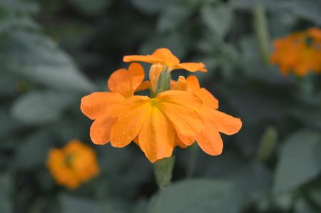 Crossandra flower from central of Thailand