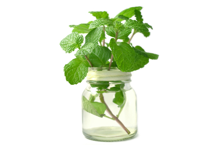 Lemon balm from central of Thailand