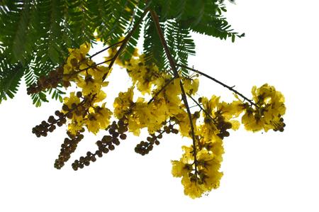 Copper pod flower, Peltophorum pterocarpum, Central of Thailand 版權商用圖片