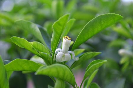 Round kumquat flower, Citrus japonica 版權商用圖片