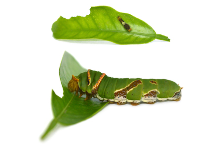 Lime butterfly caterpillar, Papilio sp., Central of Thailand