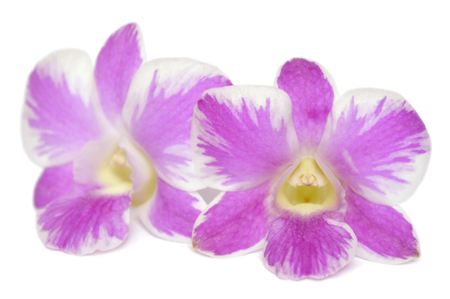 Dendrobium orchid, Pink splash, Central of Thailand