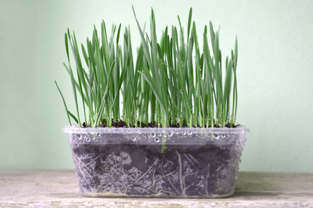 Young wheatgrass plant in recycled plastic box 版權商用圖片
