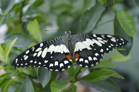 Lime butterfly, Papilio demoleus, Central of Thailand