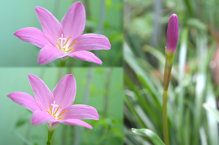 Pink rain lily, Zephyranthes sp., Central of Thailand 版權商用圖片 - 104420426