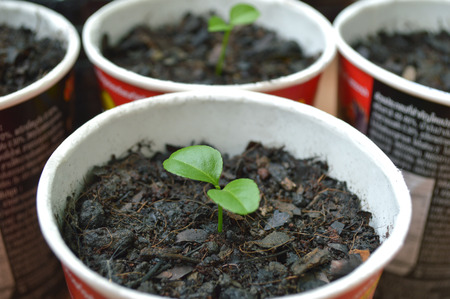 Young lime plant in recycled paper cup