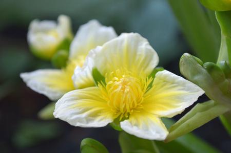 Yellow velvetleaf flower, Limnocharis sp., from Central of Thailand 版權商用圖片