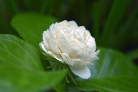 jasmine flower jasminum sambac central of thailand stock photo