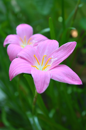 Pink rain lily, Zephyranthes sp., Central of Thailand