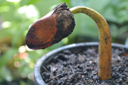 Durian sprout plant in black pot, Central of Thailand 版權商用圖片 - 104352706