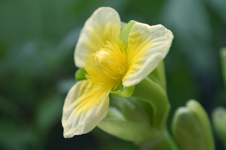 Yellow velvetleaf flower, Limnocharis sp., from Central of Thailand 版權商用圖片 - 110575950