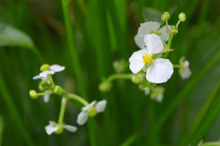ฺBulltongue arrowhead flower, Sagittaria sp., Central of Thailand