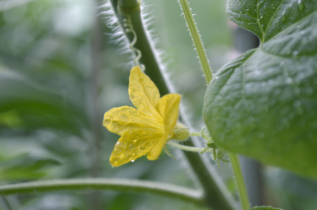 Male cucumber flower, Cucumis sativus, Central of Thailand