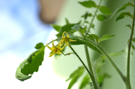 Tomato flower, Solanum sp., Central of Thailand