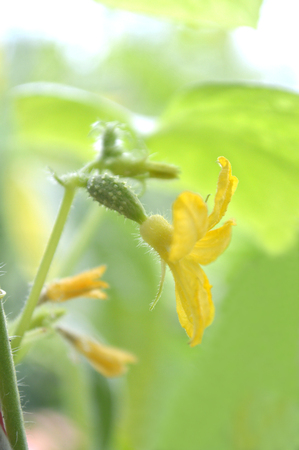 Female cucumber flower, Cucumis sativus, Central of Thailand
