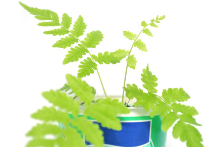 Vegetable fern, Diplazium sp., plant in recycled plastic cup on white background 版權商用圖片