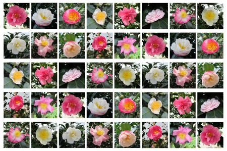 A variety of Camellia flower, Camellia sp., Tokyo, Japan