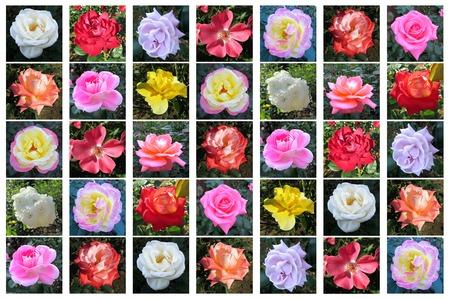 A variety of rose flower, Rosa sp., Tokyo, Japan 版權商用圖片 - 110576107
