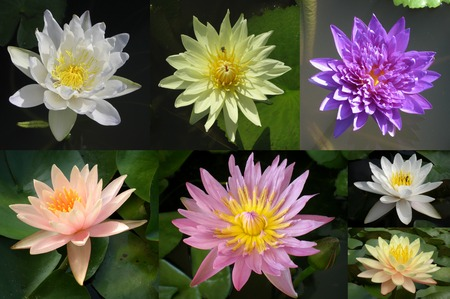 A variety of water lily flower, Nymphaea sp., Central of Thailand