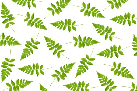 Vegetable fern leaf, Diplazium sp., as a background 版權商用圖片