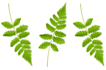 Vegetable fern leaf, Diplazium sp., on white background 版權商用圖片