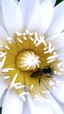 A bee in lotus Stock Photo