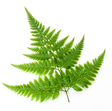 Fern isolated on white
