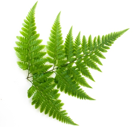 Young Green Fern Leave isolate on white background Stock Photo - 17109875