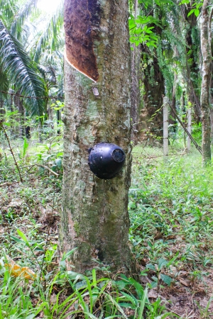 tapper: Tapping Rubber at krabi in Thailand Stock Photo