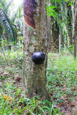 Tapping Rubber at krabi in Thailand Stock Photo