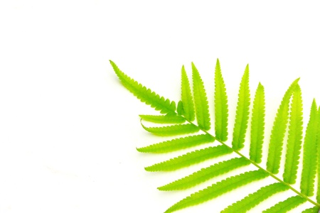 fern branch isolated on white background Stock Photo