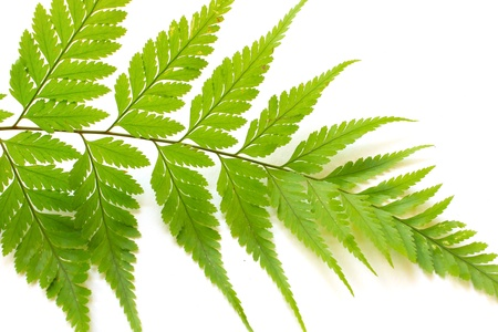 Fern Leaf Isolate On White