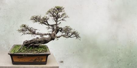 Bonsai tree near old wall