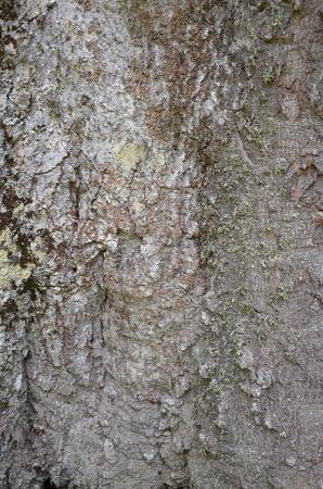 Bark of Elm. Seamless Tileable Texture.
