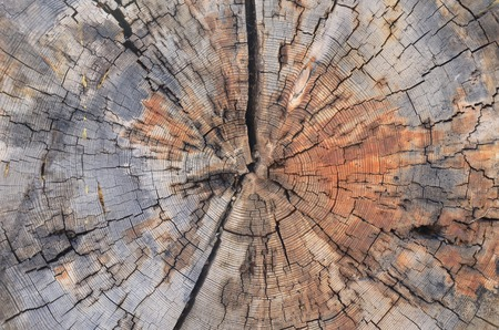 tree trunk cross section, old tree rings texture