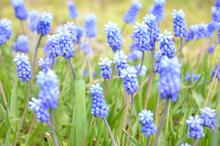 A muscari armeniacum flower or commonly known as grape hyacinth  in a defocused spring garden Stock Photo
