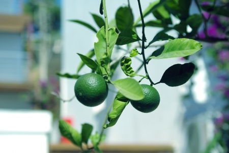 tangerine tree: Tangerine tree with unripe fruits Stock Photo