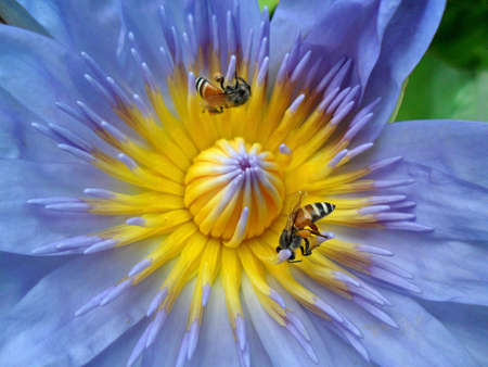Little bee in the lotus(no.2) photo