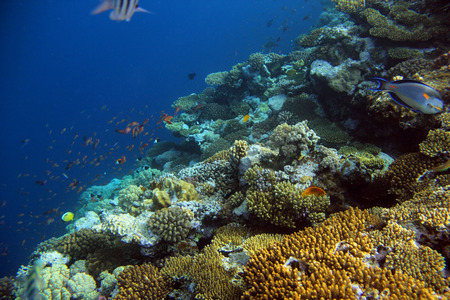 exoticism saltwater fish: underwater shooting coral reef with tropical fish