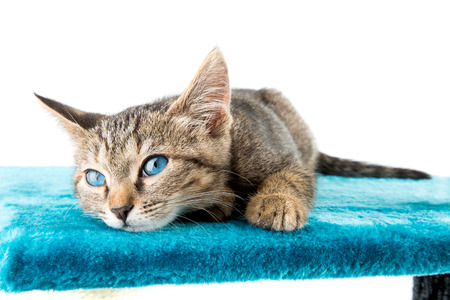 look at right: Grey tabby kitten with blue eyes lying on blue plush soft surface. look right