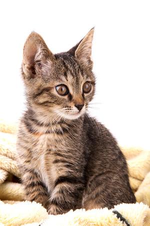 gray tabby: gray tabby kitten on a soft yellow blanket