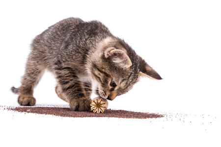 gray tabby: gray tabby kitten playing with poppy capsule on white background Stock Photo